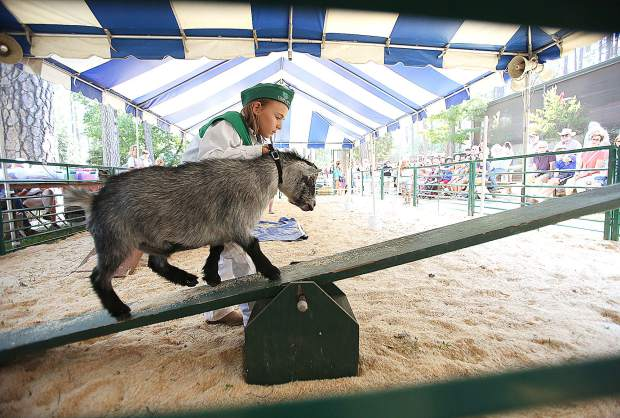 Clear Creek 4-H's Rhyan Williams leads her goat Rocket through the goat obstacle course held Thursday at the goat show ring at the Nevada County Fair.
