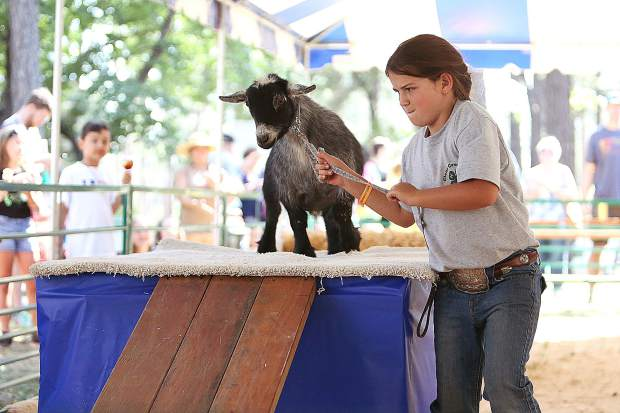 Nine year old Tessa Strong from Clear Creek 4-H, focuses on getting her goat Twitch through the goat obstacle course Thursday.