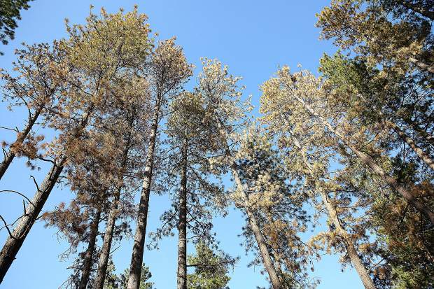 Six beetle kill trees are slated for removal from Grass Valley's Condon Park.