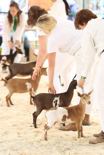A row of curious looking Nigerian Dwarf goats are lined up for judges during Friday's dairy goat competition at the goat show ring of the Nevada County Fair.