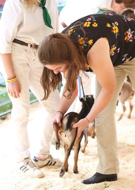 The Nevada County Fair dairy goat judge inspects each of the goats in Friday's competition.