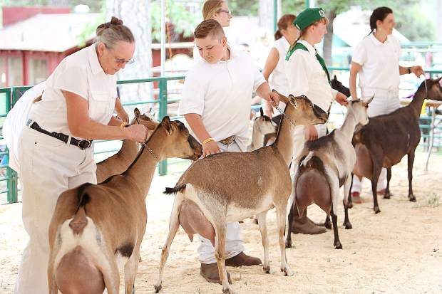 A group of dairy goats are shown in the goat show ring during the dairy goat judging.