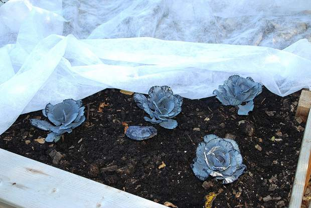 Protect these late plantings and other vegetables from chilly fall temperatures with cloches, coldframes, and floating row covers. Many of these devices have long been used by gardeners to jump start the season in spring and extend it much later into fall.