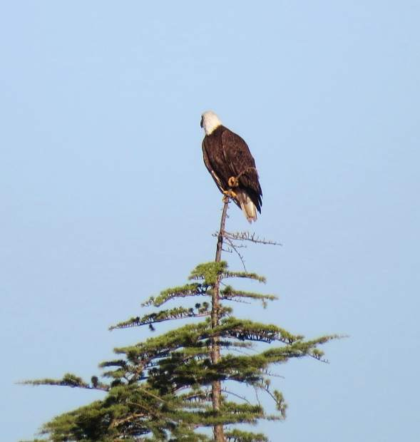 An eagle at Lake of the Pines.