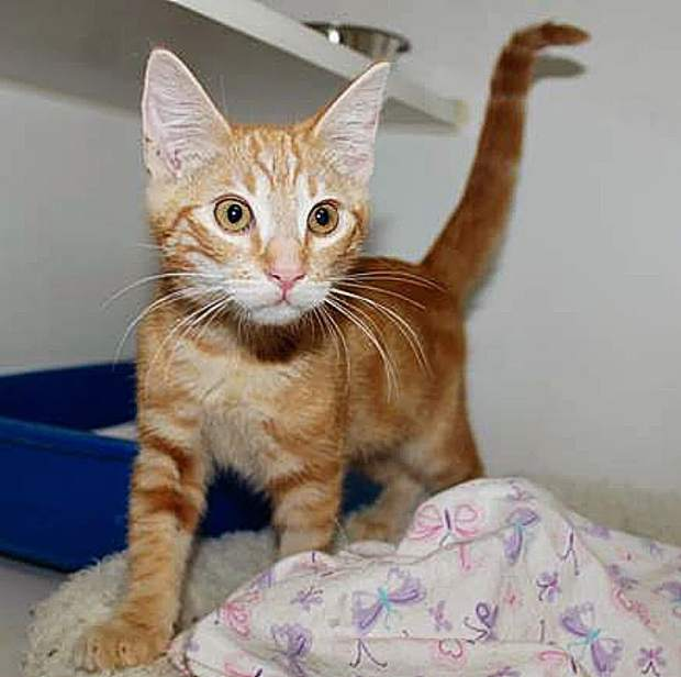 Sammie's Friends kitten, like Scotty, is ready for his furever home!