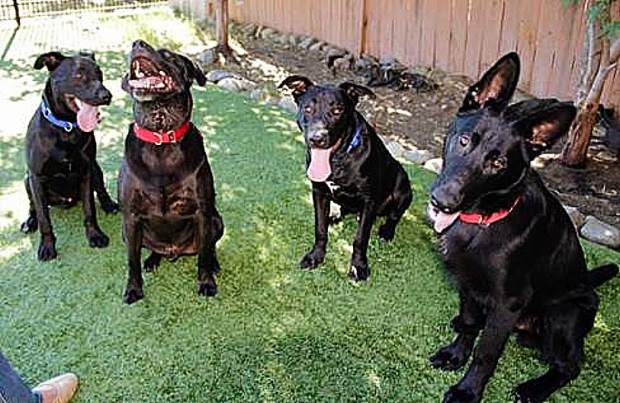Sammie's Friends pups getting goofy in the side yard. Come meet us!