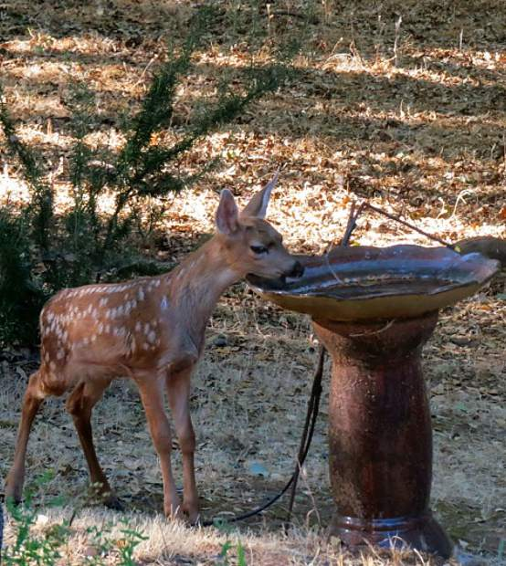 The fawn is getting a drink at the bird bath here at Lake of the Pines.