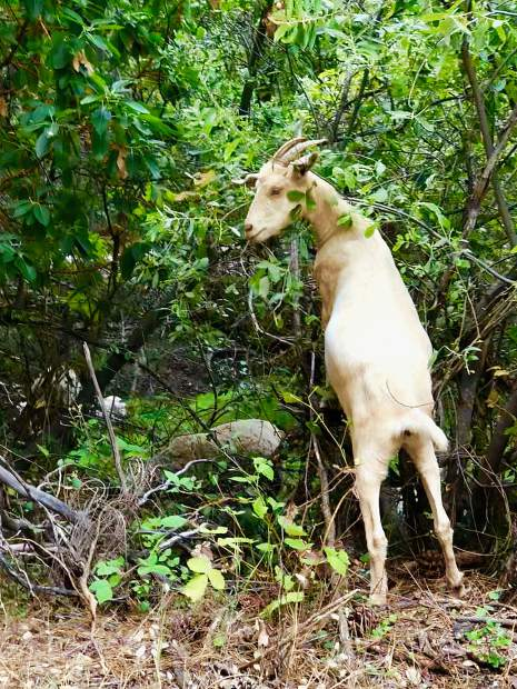 Goats doing clean-up work at Hirschman Pond in Nevada City.