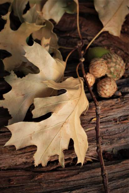 A hint of fall: Acorns are falling already.