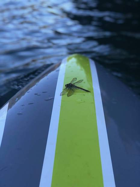 Dragonfly taking a break on my paddle board at Rollins lake.