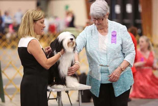 Vacaville's Julie Coffey shows off her Tibetan Terrier named Serenity's Moonlight Masquerade to judge Anne Katona during Saturday's Gold County Kennel Club Dog Show at the Nevada County Fairgrounds.