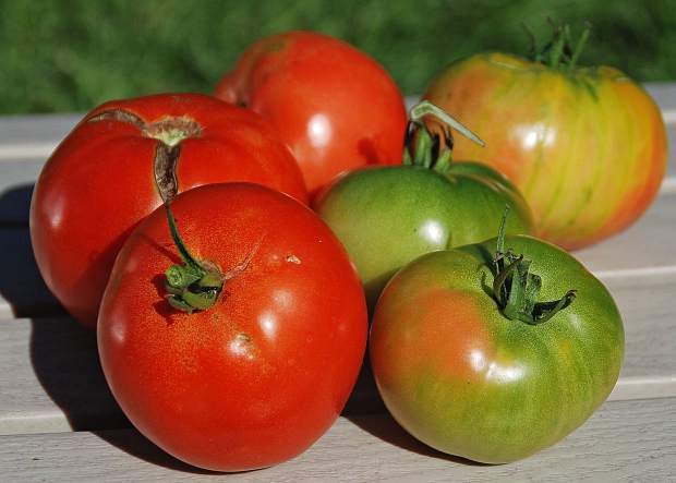 At the end of the season, pick tomatoes that are starting to show some color and allow them to finish ripening indoors.