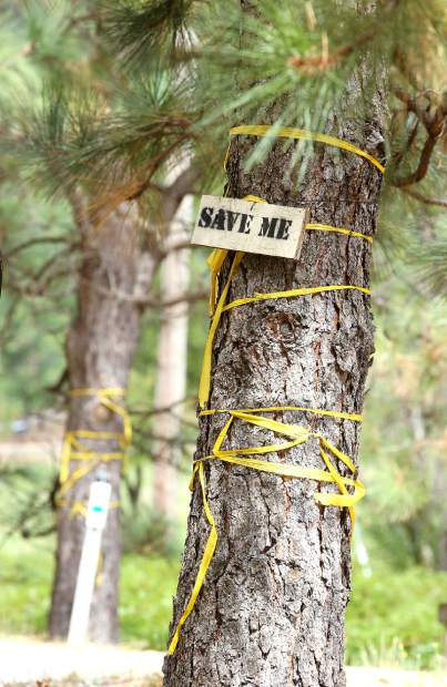 "These pine trees are wrapped in caution tape with the words ""Save Me"" pinned on them. They currently border Highway 174 and would likely have to be removed when the planned improvements occur."