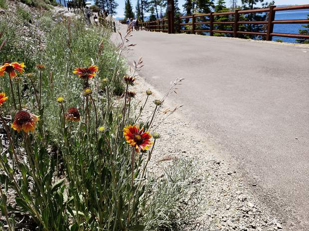 Summer flowers bloom along the Tahoe East Shore Trail.