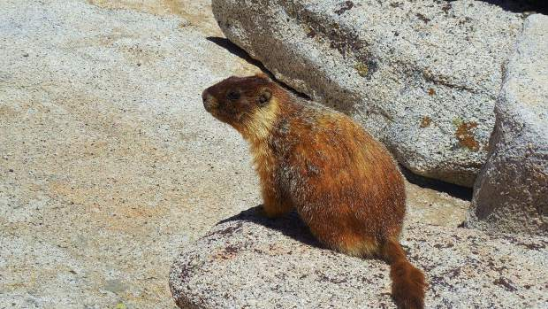 A marmot greets hikers on the trail.