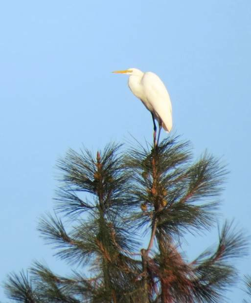 Great Egret on top of a tree at Lake of the Pines.