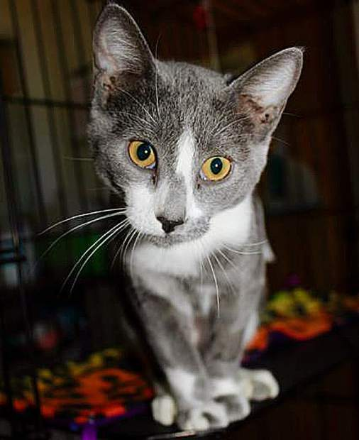 Hannah, a Sammie's Friends kitten, is growing up at the shelter. She's available for adoption.
