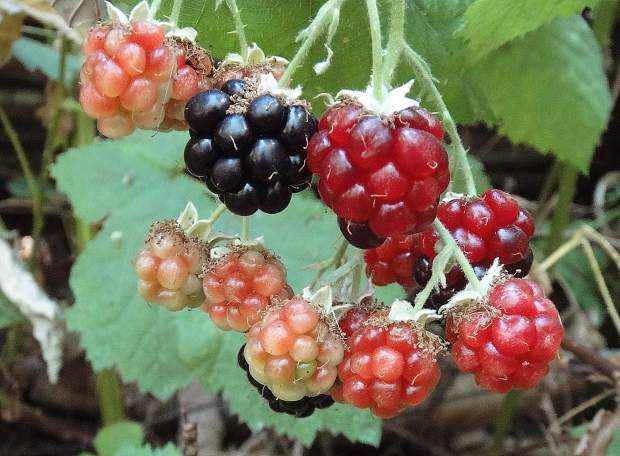 Late summer berries found at Wood's Ravine along the Hirschman Trail.