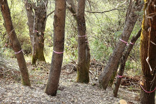 Pink ribbon denotes which trees are to be spared on this property within the Ponderosa West Grass Valley Defense Zone Project. The understory ladder fuels have been removed by members of the Washington Ridge hand crew of inmate firefighters.