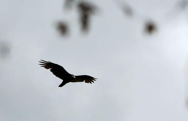 A turkey vulture soars close to the Sugarloaf Mountain peak Tuesday outside of Nevada City.
