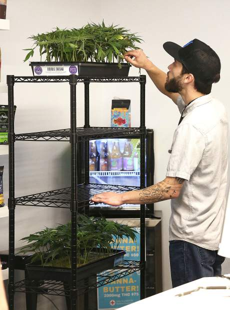 Elevation 2477 employee Nick Martini rolls a rack of Double Dream clones onto the sales floor at the Nevada County dispensary recently had its one-year anniversary.