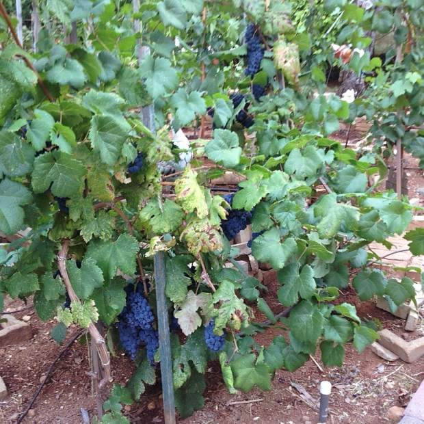 For the first time the now better-pruned-and-watered zin vines from ZAP and the original vines from Jacques were bearing fruit. My first crop.