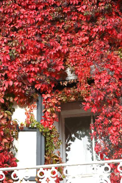 The old Nevada City assay office along Union Alley is adorned in its autumnal attire of red ivy as visible from downtown. Nevada City has become known for it's impressive fall color display.