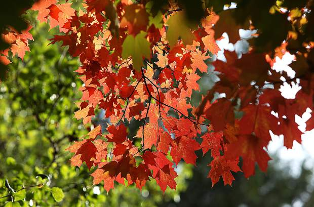 The bright orange maple leaves stand out among the pines and other green foliage surrounding along Zion Street in Nevada City,