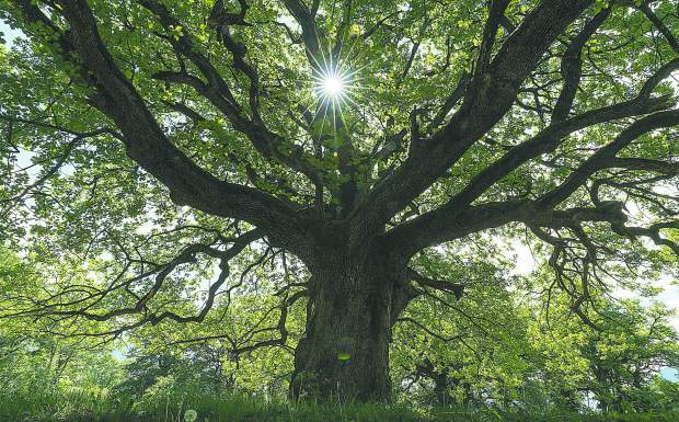 A majestic old oak giving shade to a spring meadow with the sun peeking through