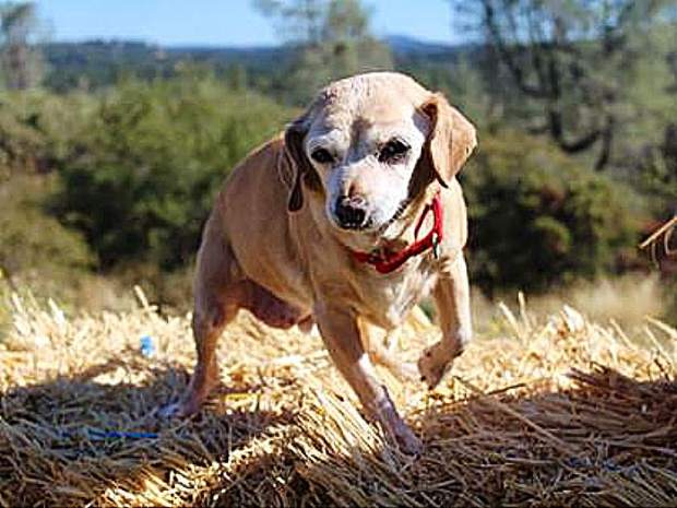 Sammie's Friends pup, Old Man Tummens, is quite youthful playing in the hay.
