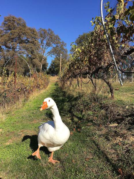 GiGi the Goose is dancing in the Vineyard after a great harvest!