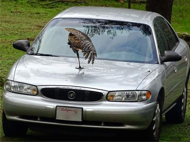 Turkey yoga on the hood of our car.