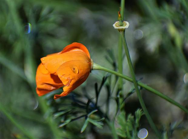 Raindrops on poppies.