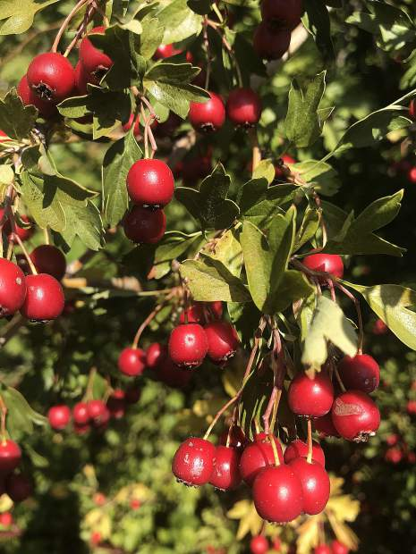 It's berry season in downtown Grass Valley, along Wolf Creek.