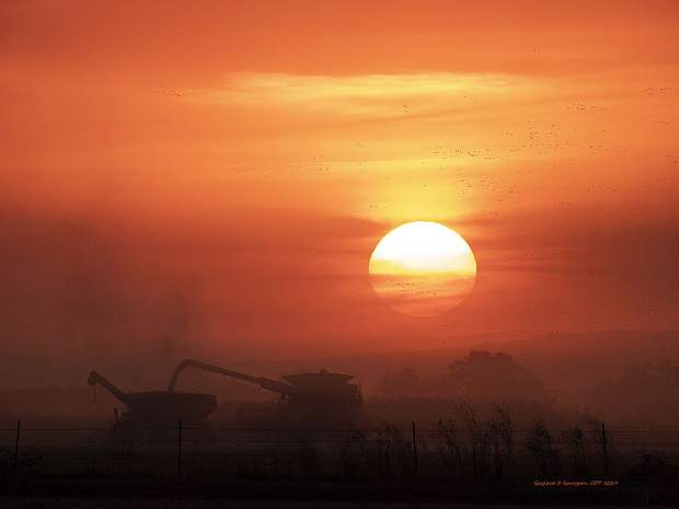 Rice is harvested at sunset at the Marysville Rice Flats while geese migrate. The color of the sunset is enhanced by the dust of the harvestor.