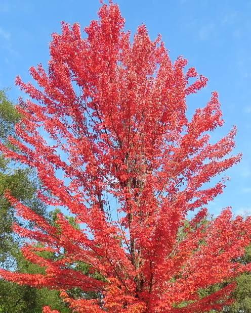 This is the first pretty fall tree I have seen here at Lake of the Pines this fall.