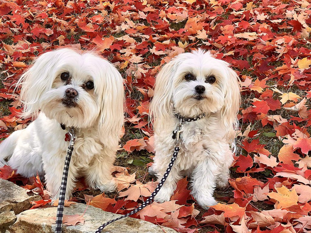 Bernie and Lily enjoying a fall walk in downtown Nevada City.