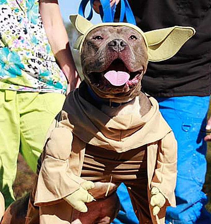 """Available for Adoption, I am,"" says Yoda dressed Savvy."