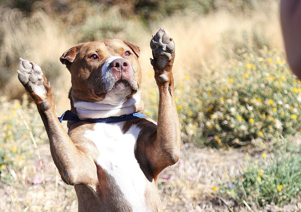 """T-Bone, a former Sammie's Friends dog, shows off one of his new tricks when his owner says """"put em up!"""" Saturday at the Pitty Party."""