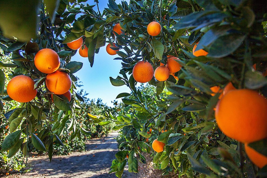 The season for navel oranges peaks from late fall through early spring. They are easily identified by the belly button on the blossom end. Navels are the classic eating orange.