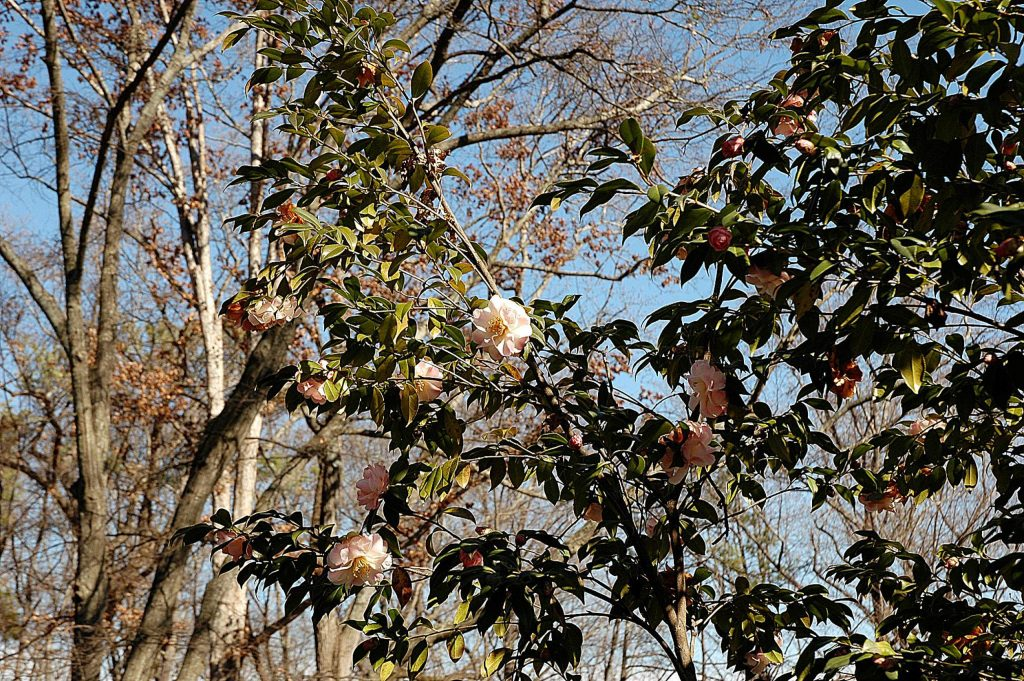 Winter wind, sun, frozen soil, snow and ice can wreak havoc on camellias and other evergreens.