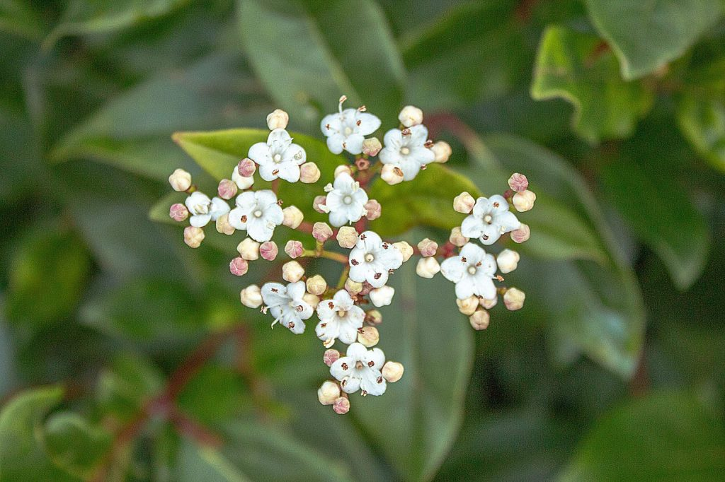 White Viburnum Flower Standing Out from Green Leaves