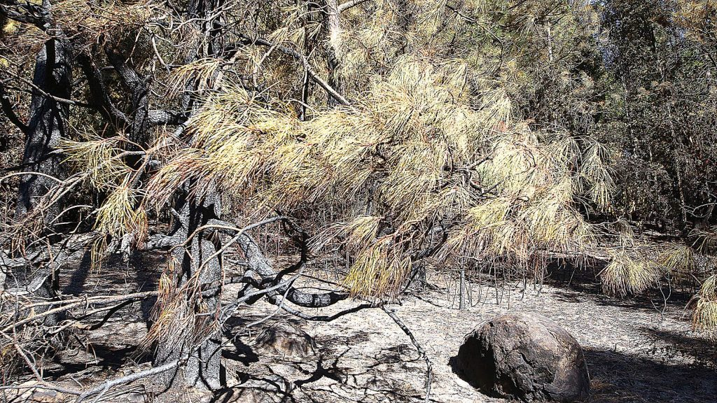 The origin of the Dorsey Fire was determined at this location due to the needle freeze causing the pine needles to remain at an angle.