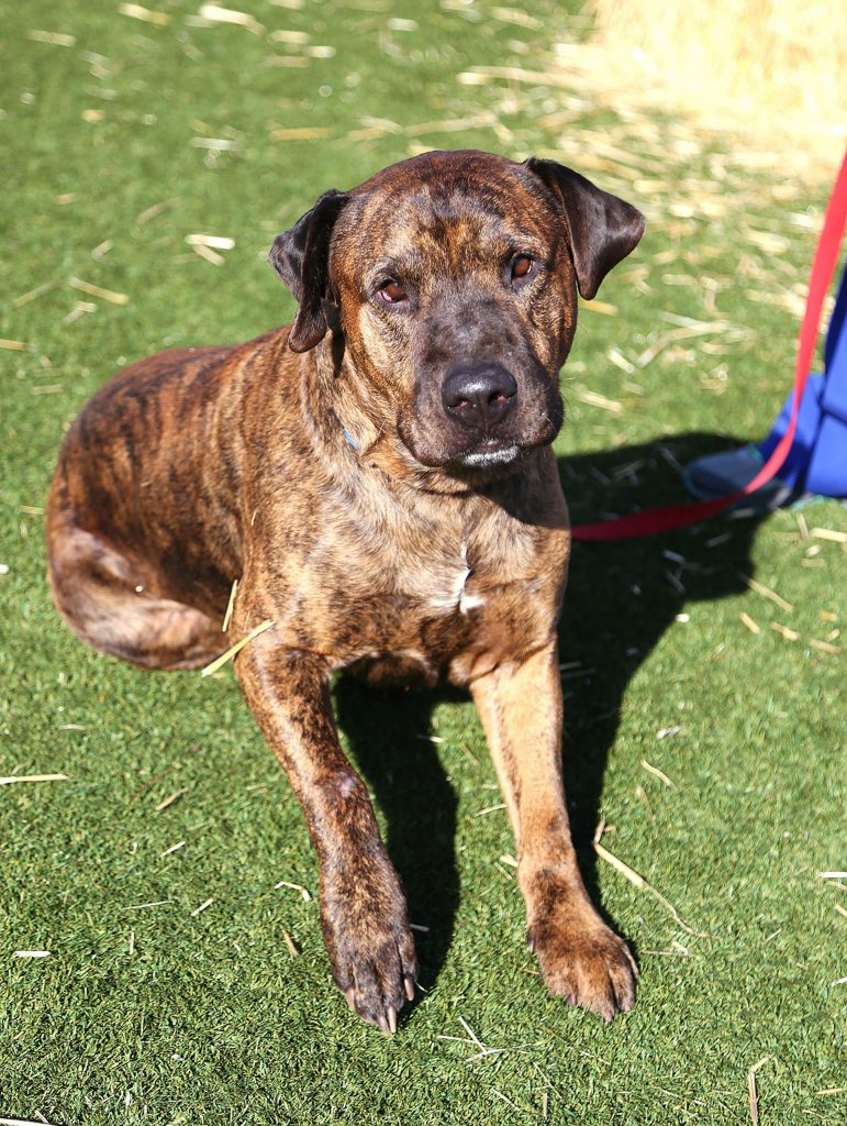 Hercules is true gentle giant. His large size might intimidate you but as soon as you meet him, you'll see that Hercules wants to give you all the love and snuggles.