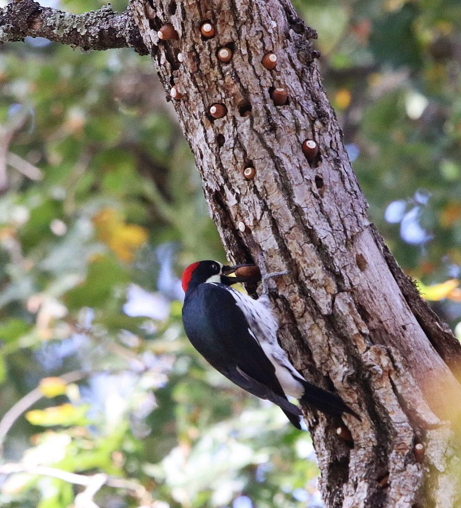 An acorn woodpecker storing up for the winter at Western Gateway Park.