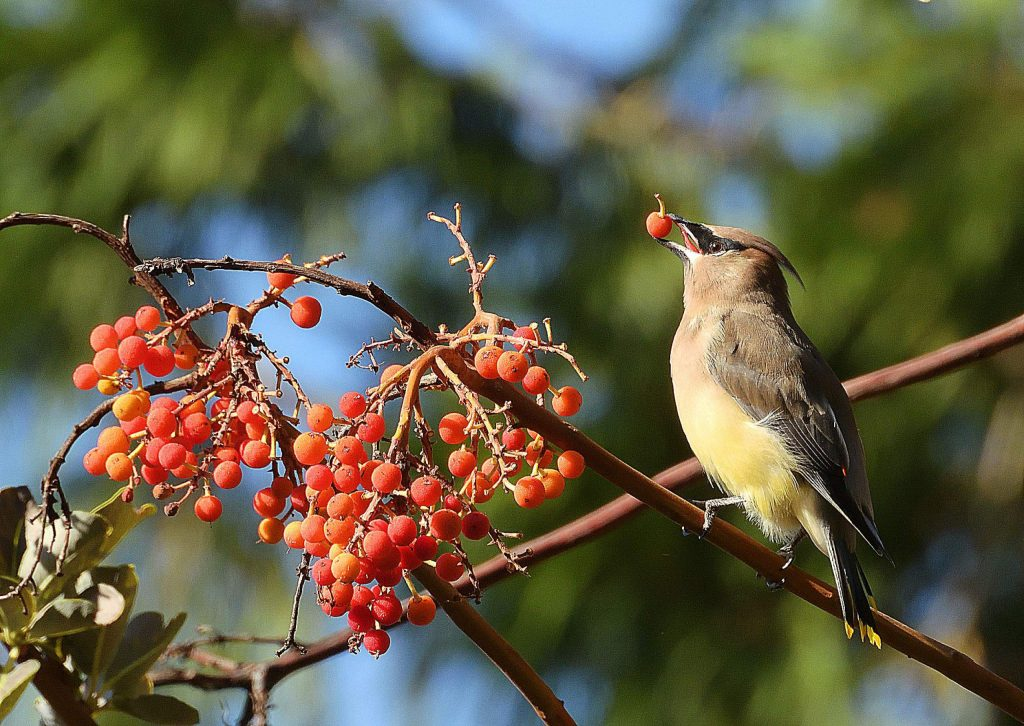 A cedar waxwings snacks on a madrone berry.
