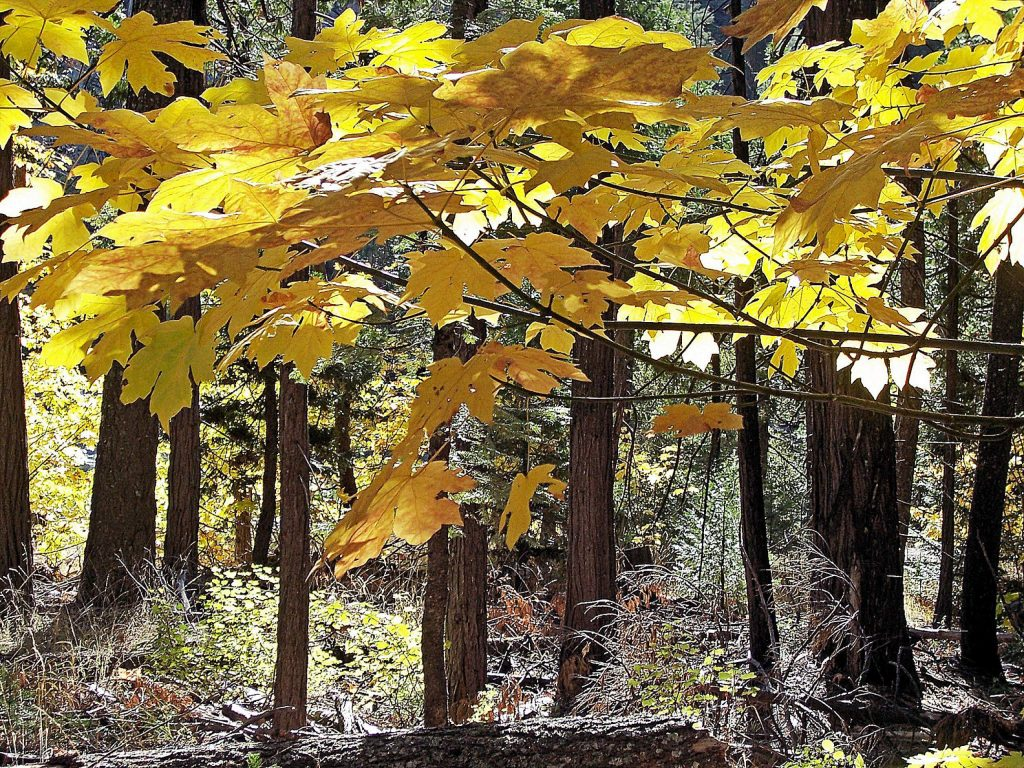 Fall colors in Nevada County.