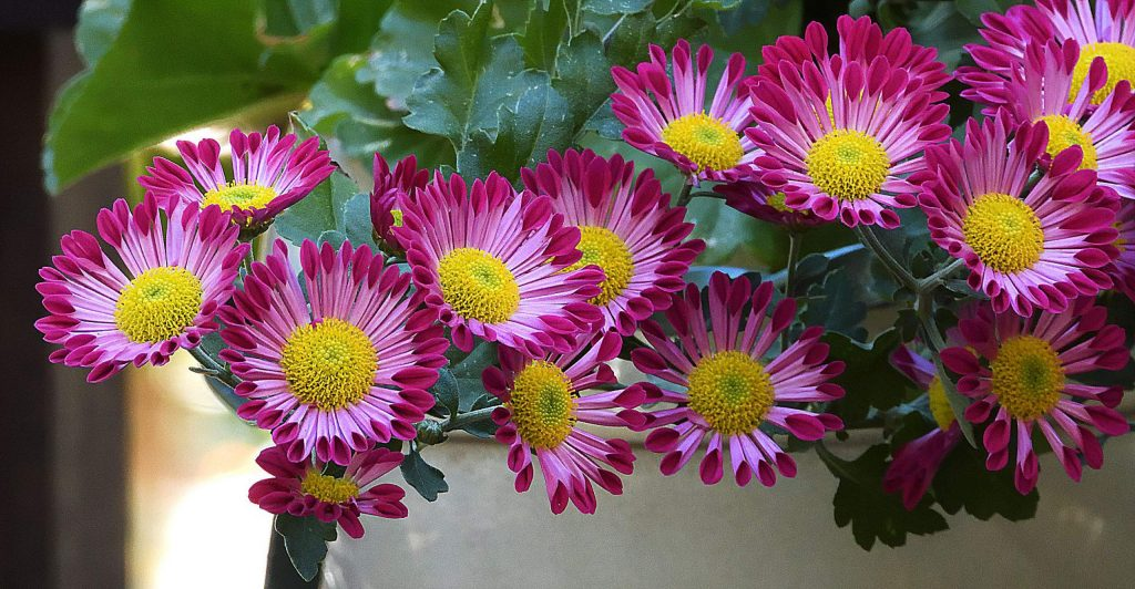 A sure sign of autumn when the mums are blossoming.