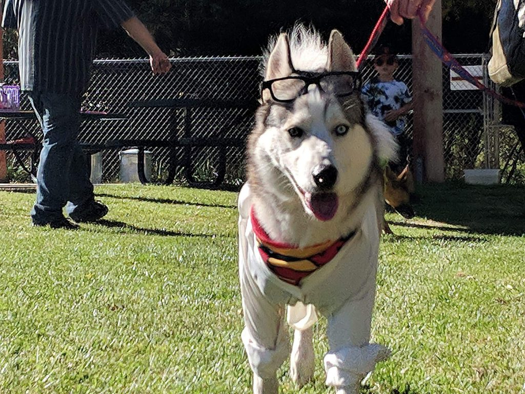 Mirza, the Siberian Husky, won the 'top dog' award for his costume of Clark Kent (that's a Superman bandana hiding under his button up shirt) at the 1st annual dog parade at Oak Tree Park in North San Juan.