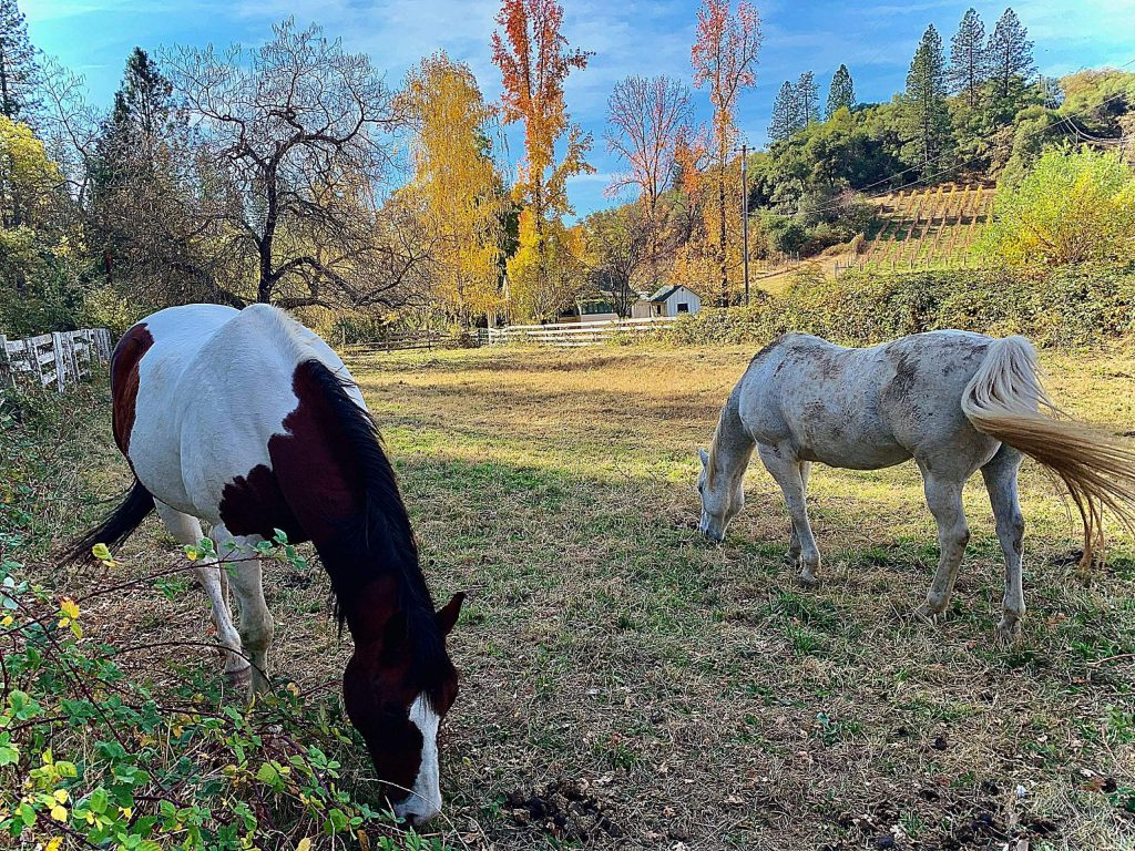 Two horses grazing along Rough and Ready Highway in early November.